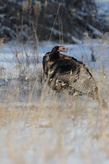 Turkey_40172.jpg (Mully410 * Images) Tags: bird birds tom turkey birding birdwatching birder wildturkey tcaap ahats burdr ardenhillsarmytrainingsite