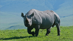 Black Rhinocerous (Raymond J Barlow) Tags: africa travel art nature animal tanzania wildlife adventure 200400vr nikond300 raymondbarlowtours