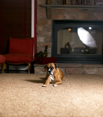 Molly poses for a Brenizer (fj40troutbum) Tags: portrait canon boxerdogs molly boxer bully 85mm18 strobist gregholland panoramabokeh brenizermethod