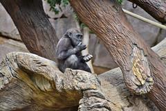 San Diego Safari Park baby Gorilla Joanne having a snack (GMLSKIS) Tags: sandiego safaripark california gorilla joanne nikond750