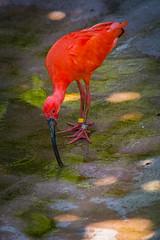 DSC_2414 (mihail.suontaus) Tags: red bird nature water finland zoo helsinki nikon sigma korkeasaari d7100