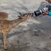 "Frank Zurey ""How to Get a Closeup of Key Deer"""