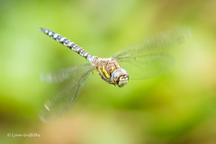 Common Hawker D50_3476.jpg (Mobile Lynn) Tags: commonhawkerdragonfly wild insects dragonfly nature fauna wildlife hurst england unitedkingdom gb coth specanimal greatphotographers