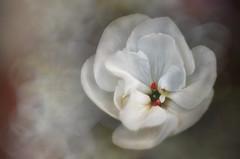Bruma / Mist (hequebaeza) Tags: naturaleza nature vegetacin vegetation flores flowers flora geranio geranium ptalos petals texturas textures nikon d5100 nikond5100 3570mm tubosdeextensin macro hequebaeza