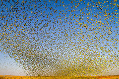 IMG_0343.jpg (Paul Williams www.IronAmmonitePhotography.com) Tags: bird budgerigar summer murmuration dryseason melopsittacusundulatus australia