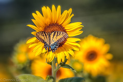 Swallowtail on Sunflower (dngovoni) Tags: flower bug burnside butterfly insect sunflower swallowtail wildlife haymarket virginia unitedstates us