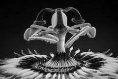 Passiflora B/W (- Cajn de sastre -) Tags: flowers flores macromondays nikkormacro105mmf28gifed macro blancoynegro blackandwhite bn bw flowersinblackwhite
