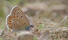 Azur dans la dune (jf.cudennec) Tags: nature wildlife animal insect butterfly papillon summer bokeh smooth macro macrophotography canon 70d 100mm macrophoto t