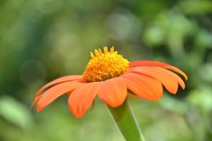 Orange and yellow (stevelamb007) Tags: flowering chicagobotanicgarden illinois glencoe stevelamb nikon d7200 nikkor18200mm garden orange macro