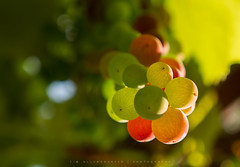Sweet Drops from Vine (Tim Allendrfer) Tags: weintrauben grapes drops sweet vine grapevine plant fruit nature sun evening sunset summer color lighting natural