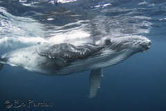 Tonga (bodiver) Tags: tonga tokina1017mm wideangle whales humpback ambientlight blue ocean reflection