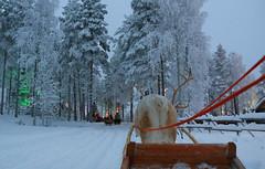 535332631 (hollyanniekatebennett) Tags: travel finnishlapland santaclaus fun scenics coldtemperature journey cool white vacations nature finland europe reindeer winter landscape snow christmas rovaniemi