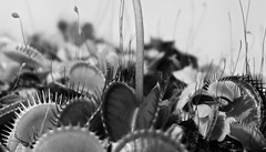 Carnivorous Landscape (calumccampbell) Tags: venus fly trap venusflytrap vft plant carnivorous eating eat black white mono monochrome macro zoom detail heads flower stems pot carnivore teeth alien