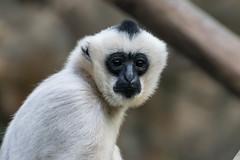 DSC_0079 (FJMaiers) Tags: minnesotazoo monkey gibbon whitecheekedgibbon face