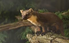 Pine-marten_2380 (Peter Warne-Epping Forest) Tags: pinemarten mustelid mammal wildlife britishwildlife uk carnivore sweetstoat omnivore