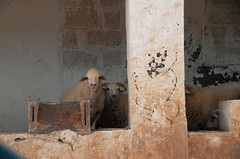 DSC_0080 (RD1630) Tags: fuerteventura summer sunny sun desert islands canary spain jandia nature sheep animal tier building