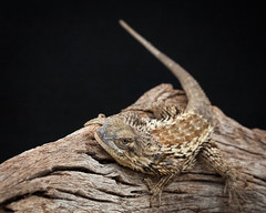 Category 4: altered and everything else (karenmelody) Tags: animal animals classreptilia herptile ordersquamata sceloporusolivaceous texasspinylizard vertebrate vertebrates herp lizard lizards reptile