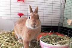 Ichigo san 287  (mensore) Tags: brown bunny cute family ichigo netherland dwarf netherlanddwarf pet rabbit