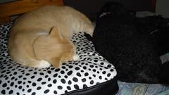 Sunday and Tasha sleeping (David McKelvey) Tags: australia brisbane queensland 2008 sunday cat tasha poodle