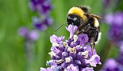 lavender goblet (Simple_Sight) Tags: bumblebee hummel insect makro macro closeup garten garden ngc npc