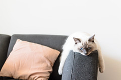 Chill (lachybartholomew) Tags: cat kitten cute indoors rest couch sleepy tired relaxing relax ragdoll eyes blueeyes face pet animal