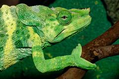 Meller's chameleon (Springhare) Tags: chameleon houstonzoo