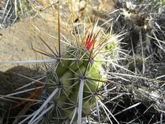 Echinocereus brandegeei RB1000 (Robby's Sukkulentenseite) Tags: bajasur balandra brandegeei cacti cactus echinocereus eigenfund erecti ka1003s kakteen kaktus mexiko pichilinque rb1000 reise