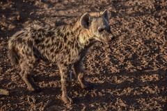 s AT Hyena pup DSC_8567 (Andrew JK Tan) Tags: 2016 safari wildlife botswana nature hyena
