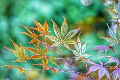 Windy (JPShen) Tags: maple leaves leaf windy bokeh changing color