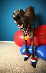 34/52 Mr. Olympian (d.rizzle) Tags: 52weeksfordogs dolcegambino greyhound olympics goldmedal