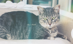 Charming  Rebelle (Rose*aime*OH! i'm late with all my comments sorry) Tags: chat kitty beauty beautiful adorable ilovemycat love sweet