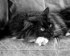 On the Sofas (Percy the cat) (BW) (Olympus OMD EM5II & mZuiko 25mm f1.8 Prime Lens) (markdbaynham) Tags: cat feline big pet cute whiskers black eyes olympus oly omd em5 em5ii csc mirrorless evil mft microfourthirds m43 m43rd micro43 mz zd zuikolic zuiko percy bw 25mm f18 prime mzuiko