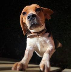 The dog that rules the house. (Estevo Machado) Tags: iphonecamera iphone6s iphone beagleworld dogshow raa co cachorro beagle dog