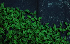 conception of plant (N.sino) Tags: xpro1 xf35mmf14r leaves plant green greenleavesofsummer