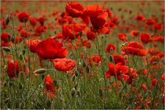 Poppy field (JuicyJules64) Tags: worcestershire poppyfield summer poppy red