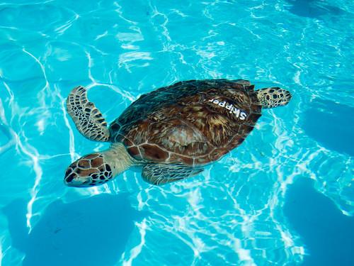 Skipper the green turtle