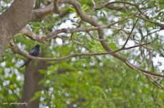 KOEL (Ashbel Sultan 26) Tags: birding koel asian birds pakistan lahore wildlife photography greenery ash ashbel photographybyash photographybyashbel ashphotography lums university bulbul