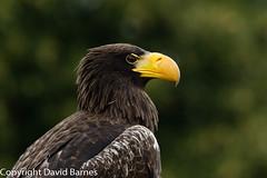 Steller's sea eagle (captive) (Wild About.......) Tags: 1d4 birds cotswolds fauna haliaeetuspelagicus icbp internationalcentreforbirdsofprey nature naturephotography stellersseaeagle uk unitedkingdom wildlife