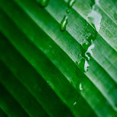 Astratto Verde (Untalented Guy) Tags: foglia leaf banano verde green gocce drop astratto foglie natura pianta trama leaves drops
