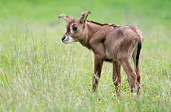 Roan-Antelope-Calf-Martin-Rickard (Marwell Wildlife) Tags: marwell peoples choice 2016 photographer year wildlife vote