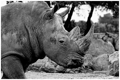 Rhinocros (Pascal.M (bong.13)) Tags: la barben zoo animaux provence france bouchesdurhone nikon d3200 noiretblanc blackandwhite
