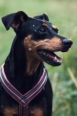 X200 - Akira - Husie Mosse 2016 WEB (manuel ek) Tags: dog perro hound hund pinscher bestfriend nature outdoors friend akira manuelekphoto fujifilm xt1 konica hexanon 200mm 300mm