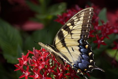 _DSC6022 (hanley.will) Tags: theartistseyes color vibrantcolor vibrant swallowtail yellow