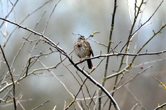 Song Sparrow (glenbodie) Tags: glen bodie glenbodie dncb boundarybay 201349 song sparrow