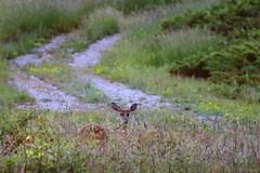 Hidden (wyvernbird) Tags: deer whitetail mammals cervidae ungulate canada animals