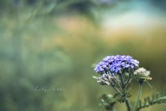 - (-LilyBeth) Tags: flowers flower colors nature natura nikon d3000 dof depthoffield bokeh outside wonderfulworld