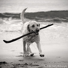 Tory (linda_mcnulty) Tags: ireland dog pet beach puppy happy gold golden lab labrador play stick doggy pup fetch donegal bundoran playingfetch playfetch