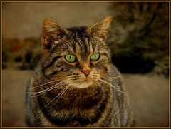 On bird patrol (FocusPocus Photography) Tags: texture cat canon feline chat background tabby kitty gato hunter katze cleo getigert jger textur tigerkatze 60d kissablekat bestofcats kittyschoice catmoments rubyblossom