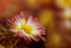 Chrysanthemums (j man ) Tags: life lighting friends light flower color macro art fall texture nature floral colors beautiful closeup composition lens point photography illinois cool colorful flickr dof view blossom bokeh pov background sony details low extreme favorites 11 depthoffield mums sp ii views di if f2 closeness tamron comments ld chrysanthemums jman a300 f20 af60mm mygearandme flickrbronzetrophygroup