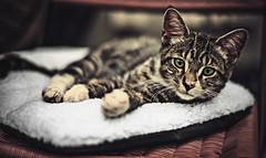 I am a Cat (Ansel Edwards Photography) Tags: cute cat 50mm furry kitten soft fuzzy lol kitty niagara kitteh catz 2012 d600